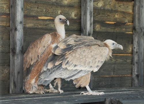 проект за възстановяване на популацията на белоглавия лешояд в Стара планина