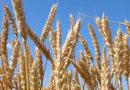 Зърнена реколта