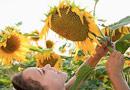 жътва на слънчоглед