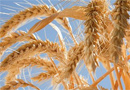 пшеница криза