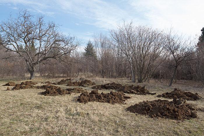 Засаждане на живите коледни дръвчета