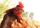 кокошка