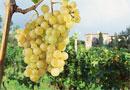 грозде вино