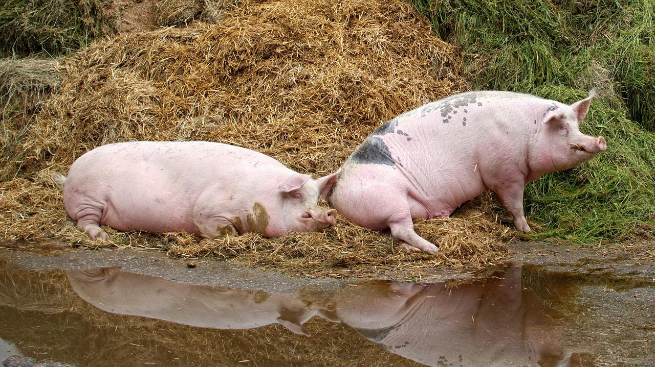 биосигурност при отглеждане на свине в лични стопанства